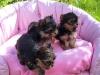 Sevimli yorkshire terrier yavruları