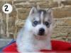 Sibirya husky puppies mavi gözler hazır