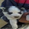 Sibirya kurdu yavru husky