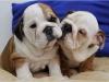 Süper sevimli ingiliz bulldog çocukları