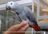 Talking congo afrika gri papağanlar chrisma için + kafes