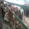 türkiyenin en ucuz hayvan pazarı satlık dana düve inek boğa
