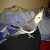 Satılık sultan papağanı