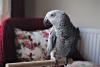 Yavru jako papağan