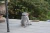 Úchvatná kapucínská opice k adopci do dobrého domova