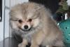 :) çok güzel pomeranian boo yavrumuz :)