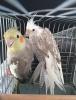 2 adet damızlık 2019 bilezikli sultan papaganları antalya