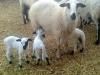 10 adet koyun 40 kuzu kurban için