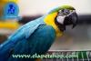 10 aylık süper evcil ara macaw papağanımız