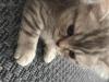 1,5 aylık british shorthair
