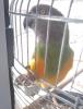 Senegal papağanı 1.5 yaşında erkek