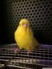 2020 10 aylık dişi lutino jumbo muhabbet kuşu