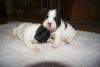 2aylık satılık french bulldog yavruları