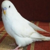 Satılık beyaz muhabbet kuşu 2 adet