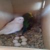 Satılık muhabbet kuşu yumurtalı