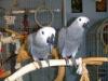 Afrika gri papağan güzel çift