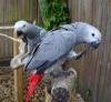 Afrika gri papağanı çiftleri.