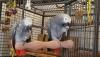 Afrika gri papağanı konuşuyor