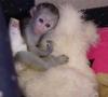 Akc kayıtlı tuvalet eğitimli capuchin maymunlar