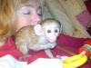 Akrobatik dişi pet capuchin maymun
