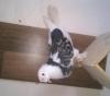 Ala çakmaklı oyun uçuş kuşu dişi