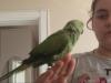 Alexander papağanı jako kafesi ve ayaklığıyla evcil