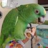 Amerika papağanı papağan citron kakadu çifti ile diğer kakad