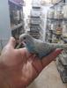 Ankarada ele alışkın muhabbet kuşu