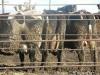 Bursa da satılık süt inekleri ve gebe inekler