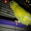 Aydın muhabbet kuşu erkek