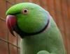 Bağcılar satlık pakistan papağanı