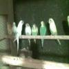 Kocaeli Muhabbet Kuşu Üretimhanesi