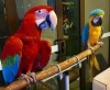Camelot macaws