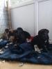 Cane corsa satılık yavruları