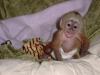 Capuchın maymunları kabul edilmek için mevcuttur