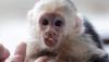 Capuchın maymunları ücretsiz olarak kullanılabilir