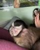 Capuchin monkey mevcut