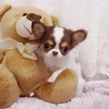 Chihuahua yavru erkek ve kadın.