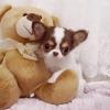 Chihuahua yavruları eviniz için.