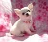 Chihuahua yavrusu güzel ev arıyor