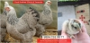 Dark brahma kuluçkalık yumurta ve civciv - istanbul brahma