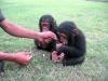 Dişi şempanze sadece iyi evler için