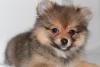 Dünyanın en tatlı pomeranian boo yavrusu