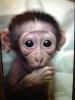 ++edinilmek üzere lisanslı erkek ve dişi capuchin maymun