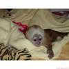 Eğitimli baby face capuchin monkeys mevcut   ello, evlat edi
