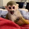 Eğitimli beyaz yüz bebek sincap maymunlar