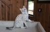 Egzotik bengal yavru kedileri evlat edinmek için