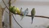 Ele omza alıştırmak için muhabbet kuşları