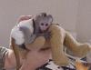 En kaliteli bebek capuchin maymunlar