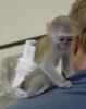Erkek ve dişi beyaz yüzlü capuchin maymunları